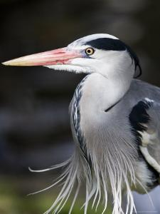 Grey Heron, Head and Chest Portrait Showing Breast Plumes, London, UK by Elliot Neep