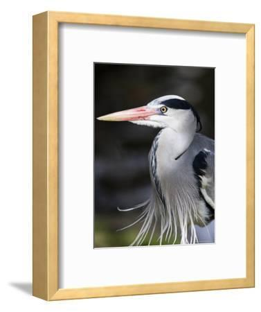 Grey Heron, Head and Chest Portrait Showing Breast Plumes, London, UK