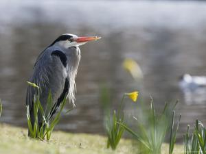 Grey Heron, Standing on Lake Bank in Daffodils, London, UK by Elliot Neep