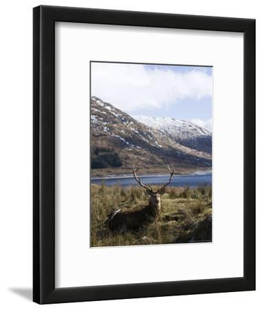 Highland Red Deer, Stag Laying in Grass with Mountainous Backdrop, the Highlands, Scotland