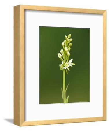 Lesser Butterfly Orchid, Aston Rowant National Nature Reserve, UK