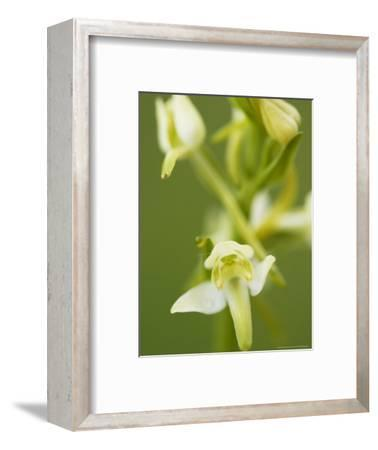 Lesser Butterfly Orchid, Close-up of Flower, Oxfordshire, UK