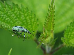 Nettle Weevil on a Stinging Nettle Leaf, Hertfordshire, UK by Elliot Neep