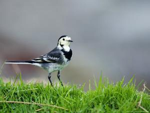 Pied Wagtail, Standing in Grass, Scotland by Elliot Neep