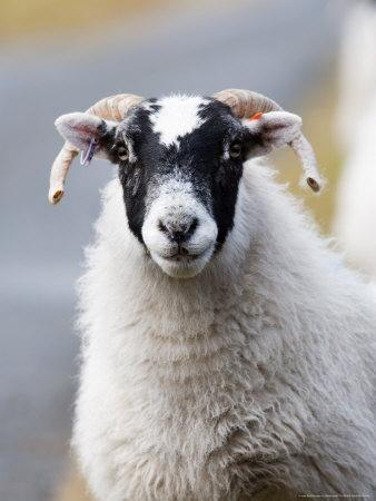 Portrait of Sheep, Scotland