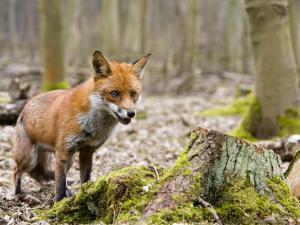 Red Fox, Alert Fox Standing Next to Fallen Tree, Lancashire, UK by Elliot Neep