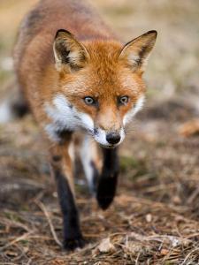 Red Fox, Fox Walking Head-On Through Pine Needles and Leaf Litter, Lancashire, UK by Elliot Neep