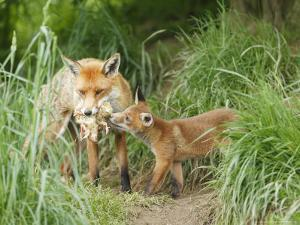 Red Fox, Parent Delivering Food to Cub, Sussex, UK by Elliot Neep