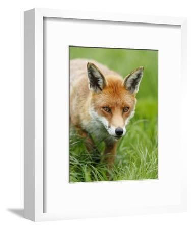 Red Fox, Portrait of Red Fox in Long Green Grass, Sussex, UK