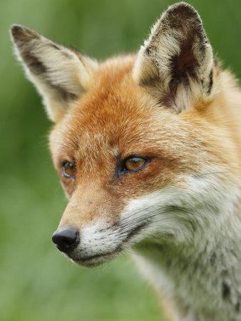 Red Fox, Portrait, Sussex, UK