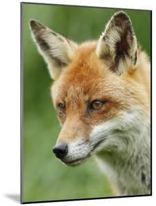 Red Fox, Portrait, Sussex, UK by Elliot Neep