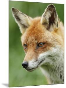 Red Fox, Portrait, Sussex, UK by Elliot Neep