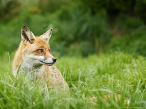 Red Fox Sitting in Long Green Grass, Sussex, UK by Elliot Neep