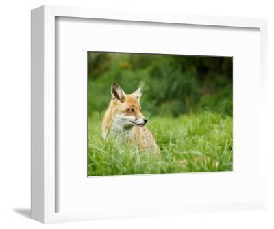 Red Fox Sitting in Long Green Grass, Sussex, UK