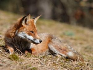 Red Fox, Young Male Fox Sun-Bathing, Lancashire, UK by Elliot Neep