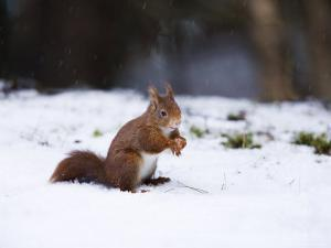 Red Squirrel, Sat in Snow, Lancashire, UK by Elliot Neep