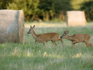 Roe Deer, Buck Following Scent of Doe, Somerset, UK by Elliot Neep