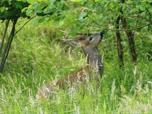 Roe Deer, Buck Reaching up to Eat Spring Leaves, Sussex, UK by Elliot Neep