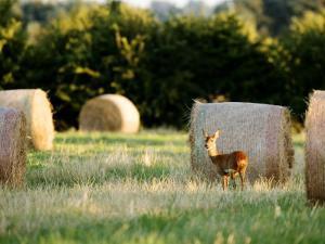 Roe Deer, Young Doe Standing Beside Rolled Hay Bail, Somerset, UK by Elliot Neep