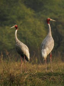 Sarus Crane, Pair Standing, Bharatpur, India by Elliot Neep