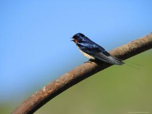 Swallow, Perched on Rusty Metal Pipe, Pembrokeshire, UK by Elliot Neep