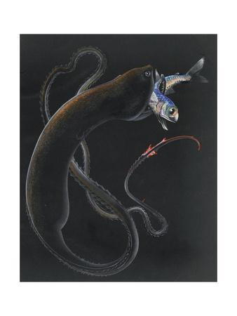 An Illustration Shows a Gulper Eel Capturing and Eating Another Fish