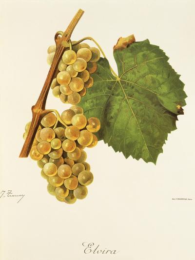 Elvira Grape-J. Troncy-Giclee Print