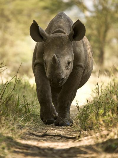 Elvis, a Black Rhino Calf-Michael Polzia-Photographic Print