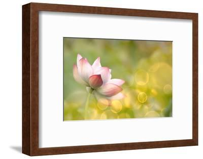 Lotus Flowers in Garden under Sunlight