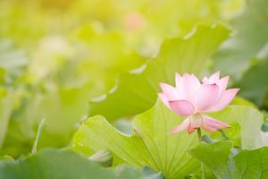 Morning Lotus Flower in the Farm under Warm Sunlight by elwynn