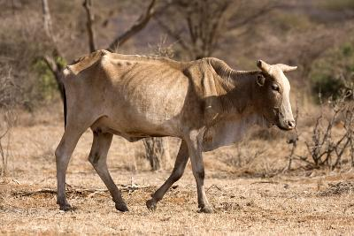 Emaciated Cattle (Bos Indicus) Wandering Alone-Lisa Hoffner-Photographic Print