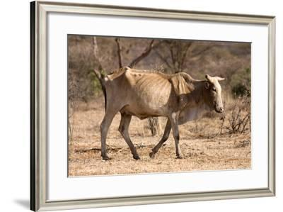Emaciated Cattle (Bos Indicus) Wandering Alone-Lisa Hoffner-Framed Photographic Print