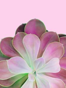 Pink Succulent by Emanuela Carratoni