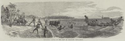 Embarking Cattle at the Port of Tamatave, Madagascar--Giclee Print