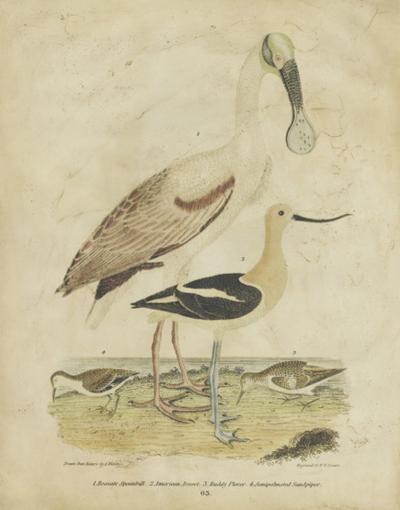 Embellished Spoonbill & Sandpipers-Alexander Wilson-Art Print