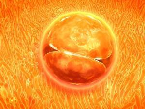 Embryo Development 24-36 Hours after Fertilization