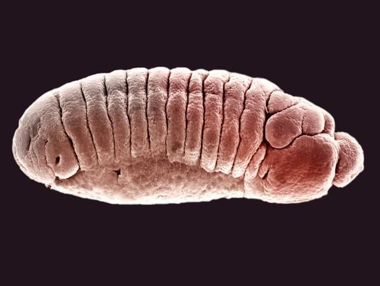 Embryo of the Fruit Fly (Drosophila Melanogaster), SEM X25-Science VU-Photographic Print
