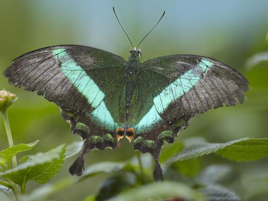 Emerald Swallowtail Butterfly, Philippines-Tim Fitzharris-Photographic Print