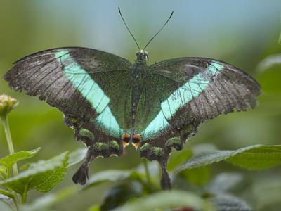 https://imgc.artprintimages.com/img/print/emerald-swallowtail-butterfly-philippines_u-l-q13c8pq0.jpg?p=0