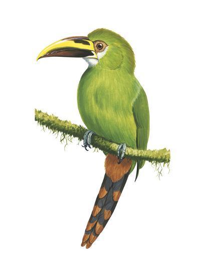 Emerald Toucanet (Aulacorhynchus Prasinus), Birds-Encyclopaedia Britannica-Art Print