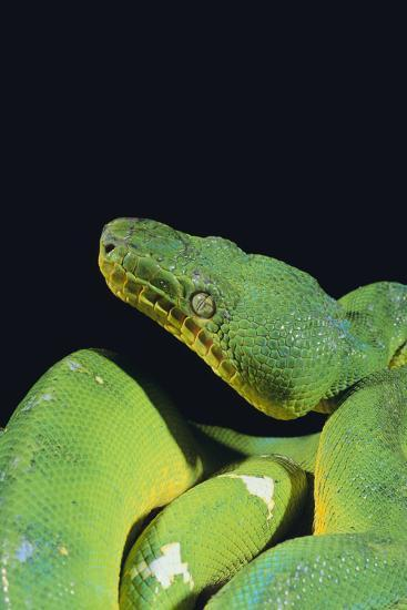Emerald Tree Boa-DLILLC-Photographic Print