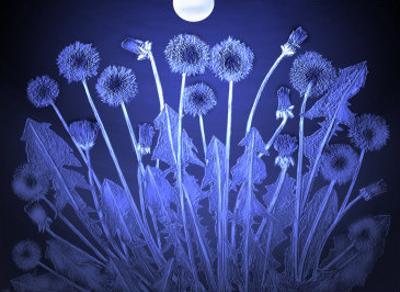 Dandelion Flowers in Moonlight