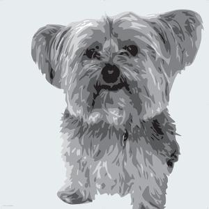 Yorkie by Emily Burrowes
