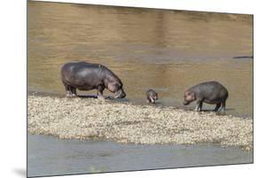 Africa, Kenya, Masai Mara National Reserve, Mara River. Hippopotamus Mother, father and baby. by Emily Wilson