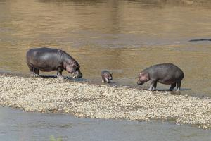 Africa, Kenya, Masai Mara National Reserve, Mara River. Hippopotamus Mother, father and baby. by Emily Wilson