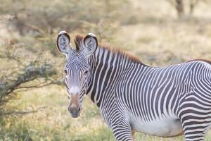 Africa, Kenya, Samburu National Game Reserve and Park, Grevy's Zebra. by Emily Wilson
