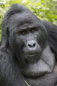 Africa, Uganda, Bwindi Impenetrable Forest and National Park. Mountain gorillas. by Emily Wilson