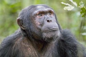 Africa, Uganda, Kibale Forest National Park. Chimpanzee in forest. Head-shot. by Emily Wilson