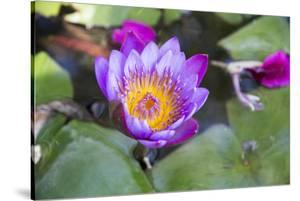India, Rajasthan, Udaipur, Water Lily Blossom in Pond by Emily Wilson