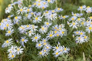 Mongolia, North Central Mongolia, Hustai National Park, a Mongolian Aster by Emily Wilson